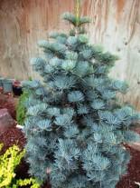 Сребриста ела - Abies concolor - 80 - 100 см.