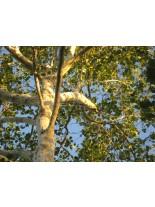 Platanus occidentalis - Западен чинар - 150 - 200 см.