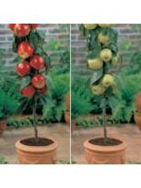 Ябълка -декоративна - ниско-стъблена - 1.50 - 2.00 м.