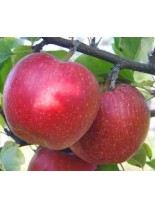 Ябълка сорт Айдаред - 1.50 - 2.00 м.