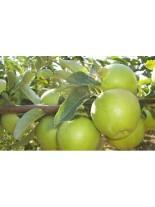 Ябълка сорт Грени Смит - 1.50 - 2.00 м.