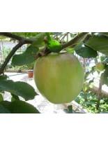 Ябълка сорт Муцу - 1.50 - 2.00 м.