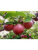 Ябълка сорт Червена превъзходна - 1.50 - 2.00 м.