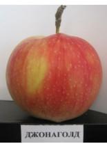 Ябълка сорт Джонаголд - 1.50 - 2.00 м.