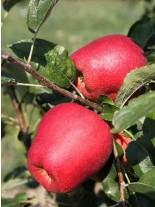Ябълка сорт Молиз Делишес - 1.50 - 2.00 м.