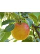 Ябълка сорт Прима - 1.50 - 2.00 м.