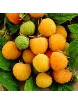 Малина храстовидна - жълта Rubus idealis fallgold - 15-30 см.