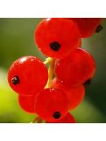 Френско грозде (касис) - червено - 0.5 -0.8 м.