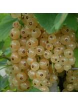 Френско грозде  (касис) - бяло - 0.5 -0.8 м.