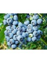 Синя Американска Боровинка - Двугодишен храст (в саксия)