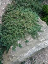 Cotoneaster microphylla 'Queen of Carpet'  - Котонеастер  -  20 - 40 см.