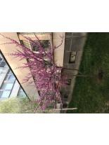 Cercis siliquastrum - Див Рожков (Юдино дърво) - 60 - 80 см.