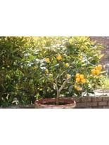 Citrus limonium - лимон - 2 годишен, 1.00 м.