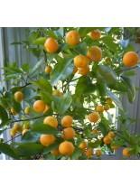 Citrus nobilis - мандарина - 2 годишен, 1.00 м.