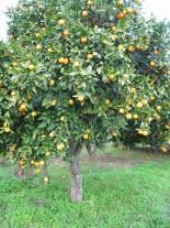 Citruss sinensis - портокал - 3 годишен, 1.00 м.