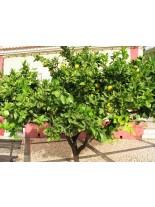 Citrus paradisi - грейпфрут - 2 годишен, 1.00 м.