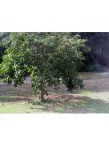 Diospyros kaki - райска ябълка - 1.00 м.