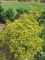 Euonymus japonica aureomarginatus - Евонимус - 20 - 40 см.