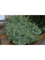 Euonymus fortunei emerald gaiety - Евонимус - 10 - 20 см.