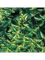 Euonymus fortunei 'Coloratus' - Евонимус - 10 - 20 см.