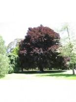 Fagus sylvatica 'Atropunicea' - бук червен - 160 - 200 см.