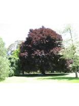 Fagus sylvatica 'Atropunicea' - бук червен - 100 - 120 см.