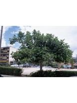 Ficus carica - смокиня - 1.00 м.