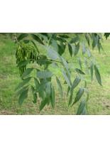 Fraxinus exelsior - ясен - 50 - 70 см.