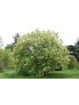 Fraxinus ornus - ясен Мъждрян - 50 - 70 см.