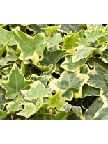 Hedera helix 'Gold Chield' - бръшлян - 0.2 - 0.4 м.