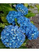 Hydrangea hortensis - хортензия синя - 0.20 - 0.40 м.