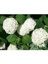 Hydrangea hortensis - хортензия бяла - 0.20 - 0.40 м.