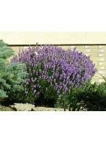 Lavandula angustifolia - лавандула - 20 - 40 см.