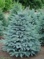 Picea pungens glauca - Сребрист смърч - 70 - 90 см.
