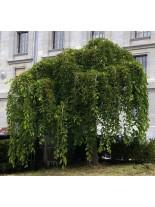 Morus alba pendula - черница (плачеща) - 200 - 225 см.