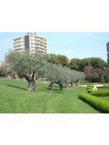 Olea europaea - маслина - 3 годишна, 1.00 м.
