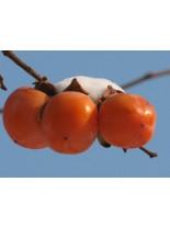 Райска ябълка сорт Костата - 1.20 - 1.80 м.