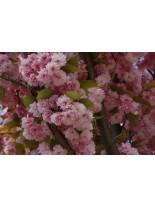 Prunus serrulata 'kanzan' - Прунус  - 120 - 160 см.