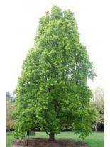 Quercus robur 'Fastigiata'  - дъб - 140 - 180 см.