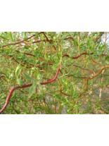 Salix matsudana 'Tortuosa' - декоративна върба -  - 40 - 60 см.