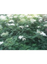 Sorbaria sorbifolia - японска акация - 40 - 60 см.