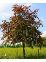 Sorbus aucuparia - сорбус аукупариа, калина - 80 - 100 см.