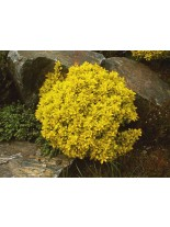 "Berberis thunbergii ""Goldalita"" - Берберис - кисел трън - 0.2 - 0.4 м."
