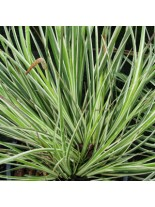 """Acorus garminerus """"Argenteostriatus"""" - Акорус тревист аир - 0.1 - 0.2 м."""
