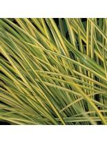 """Acorus garminerus """"Golden Gelight"""" - Акорус тревист аир - 0.1 - 0.2 м."""