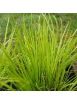 "Acorus garminerus ""Hakuro Nishiki"" - Акорус тревист аир - 0.1 - 0.2 м."