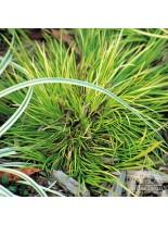 """Acorus garminerus """"Pusillus"""" - Акорус тревист аир - 0.1 - 0.2 м."""