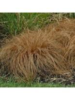 """Carex comans """"Bronze Perfection"""" - Карекс, острица - 0.2 - 0.3 м."""