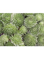 """Sempervivum """"Green"""" - Семпервивум, Дебелец, Бабин квас - 0.1 м."""