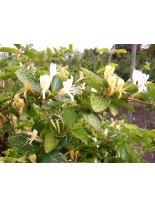 Lonicera japonica 'Aureoreticulata' - лоницерея - 20 - 40 см.